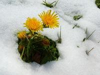 Dandelion in the snow