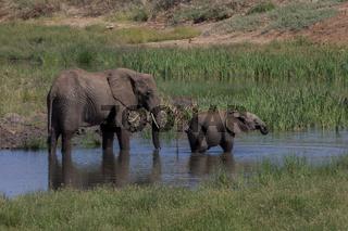 Elefant mit seinem Jungen beim trinken