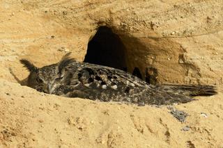 brütend... Europäischer Uhu *Bubo bubo*, Altvogel auf dem Nest