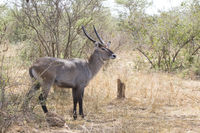 male waterbuck standing in the middle of the bush in the bush savanna