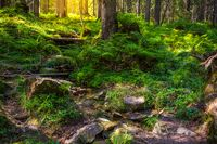 Beautiful forest landscape in the morning. Ukrainian Carpathians