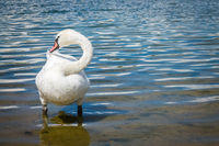 White swan  plucking feathers