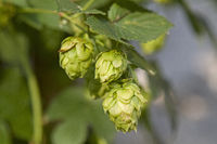 Hops in late summer