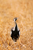 Black-bellied Bustard in Kruger National Park, South Africa