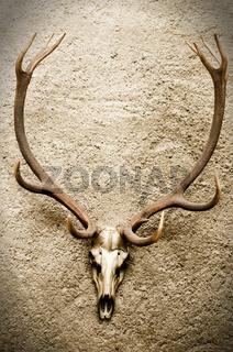 Deer's Skull