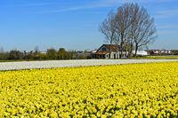 Anbau von gelben Narzissen in der Blumenzwiebelregion Bollenstreek bei Noordwijkerhout
