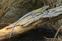 Blauschwanzskink (Trachylepis quinquetaeniata), captive, Vorkomm