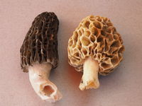 Black morel and common morel, yellow morel