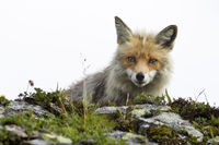 curious mountain fox