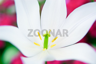 Close-up of a white lily