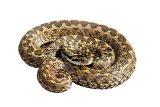 Vipera ursinii rakosiensis isolated over white background ( hungarian meadow adder )