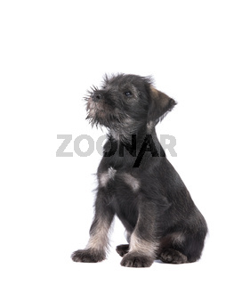 Mittelschnauzer puppy  isolated on white background