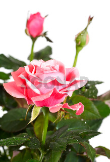 blossoming rose plant with dew drops