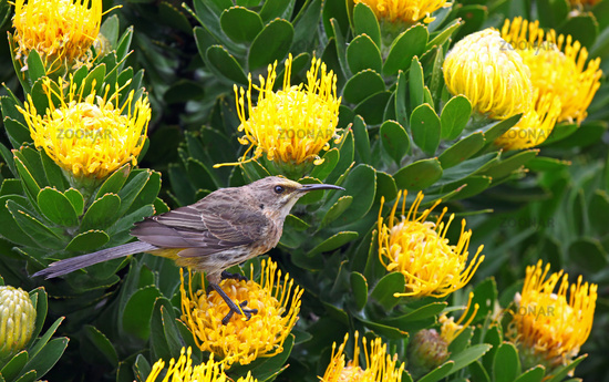 Bird on yellow Protea, South Africa