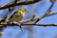 chiffchaff in a tree