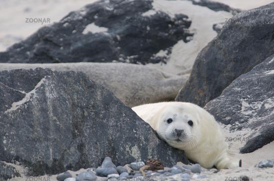 Grey Seal, Halichoerus grypus, North Germany, North Sea, Europe