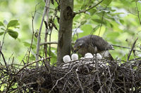 one + five... Eurasian Sparrowhawk *Accipiter nisus*