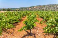 Rows of grape plants with mountain in Portugal