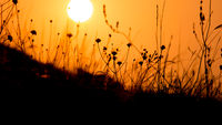 Close up of grass silhouettes at sunset light. Colorful nature background