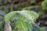 fir branch at a tree