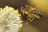 bee hovering over a catkin