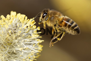Biene am Kaetzchen