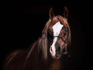 portrait of purebred arabian chestnut  stallion at black background