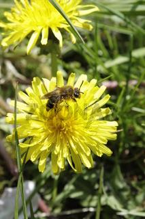 Löwenzahn Blüte Biene