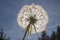 Faded dandelion in backlight