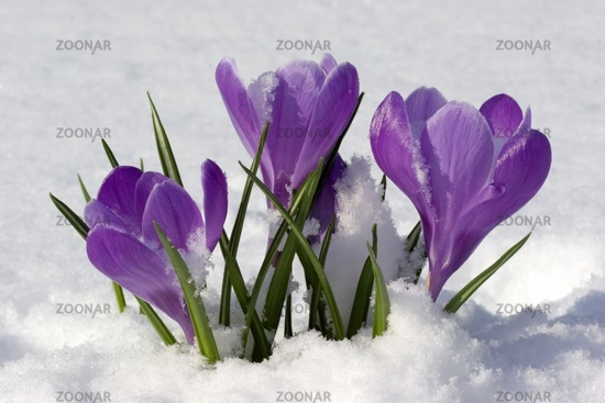 Crocuses at snow