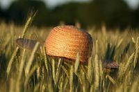 Straw hat in ryefield