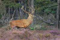 Red Deer (Cervus elaphus) Hoge Veluwe National Park, Netherlands, Europe