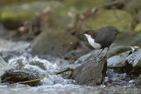 preening... White-throated Dipper *Cinclus cinclus* shaking water off plumage