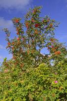 Vogelbeere oder Eberesche (Sorbus aucuparia) in den Dünen vom Hö