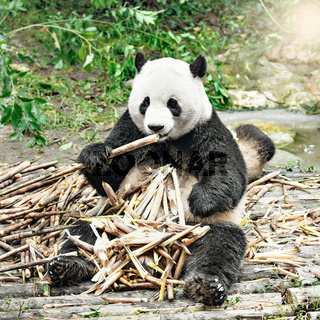 Giant Panda eats bamboo.
