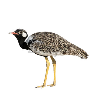 Northern Black Korhaan standing isolated on white background