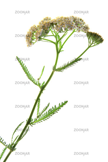 Common Yarrow (Achillea millefolium)