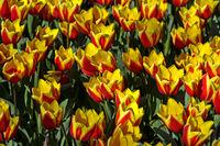 Gelb-rote holländische Tulpen