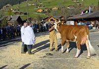Mitglieder der Jury begutachten Simmentaler Kühe an einer Viehschau