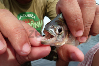 Piranha shows its sharp teeth, Rio Negro, Brazil
