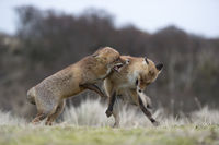 in agressive fight... Red Foxes *Vulpes vulpes*