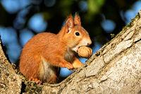 squirrel on a walnut tree