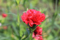 Pink flowers of carnation, or clove Dianthus caryophyllus 20570
