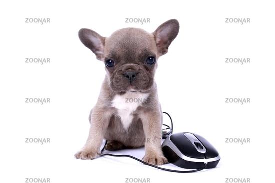 french bulldogge puppy