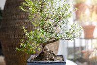 little bonsai tree in a room