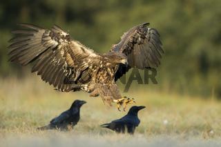 Landung... Seeadler *Haliaeetus albicilla*