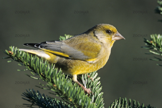 Greenfinch is mainly green, with yellow in the wings and tail