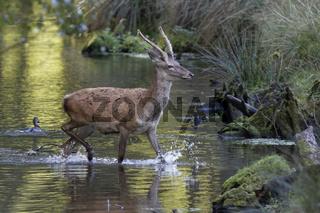 Rothirsch  (Cervus elaphus) läuft durchs Wasser, Schleswig Holstein, Deutschland