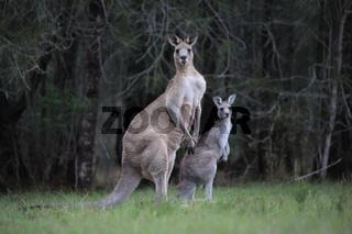Eastern Grey Kangaroos in bushland
