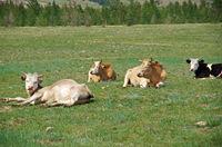 Sleeping cow